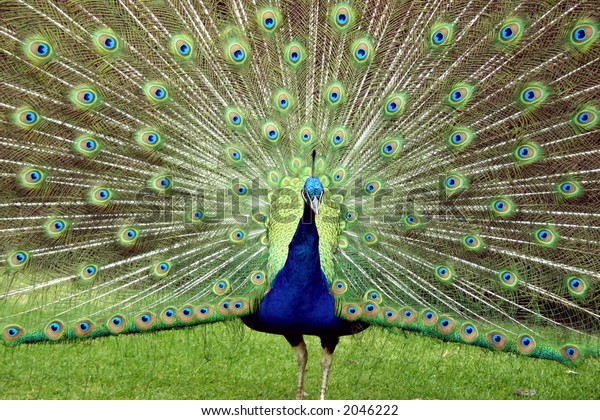 Peacock shows feathers