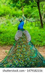A peacock sitting with its feathers spread