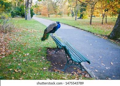 Peacock sitting on the bench in Bagatelle park of Bois de Boulogne in Paris, France