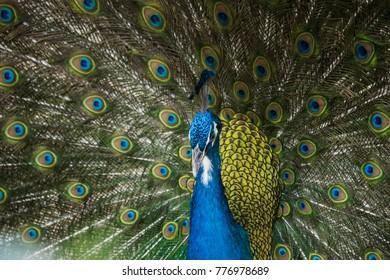 peacock bird colors images stock photos vectors shutterstock