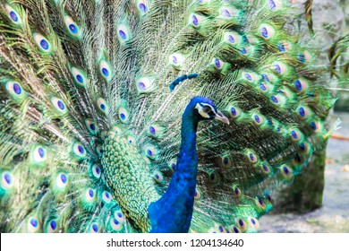 Peacock spreading showing its beautiful feathered wings