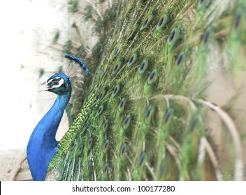 A peacock spreading its tail