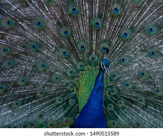 Peacock with its tail feathers on display