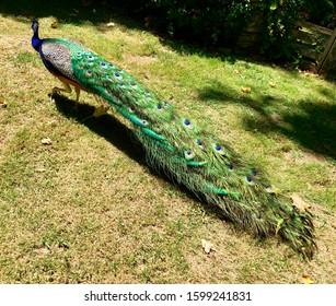 Peacock tail shine walk in the garden