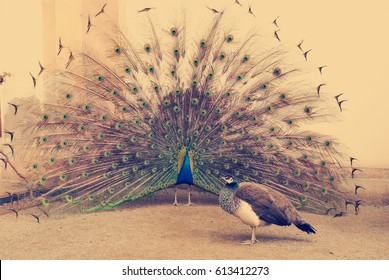 peacock tail spread tail-feathers