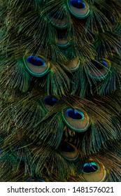 Peacock. Town mascot in Milan, Ohio.