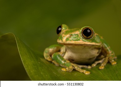 Peacock tree frog perched on a leaf with green background.