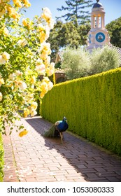 Peacock Walking on Brick Pathway in a beautiful landscape English Garden with a Tower and Garden Wall
