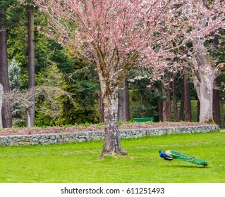 Peacock walking under the blossoming cherry tree in a public park