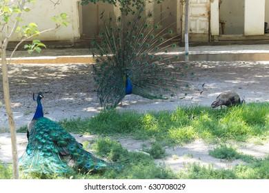 Peacocks in Bukhara