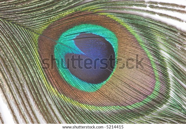 peacock's feather