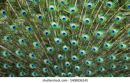 Peacocks pattern or texture. Colorful and Artistic peacock feathers banner or panorama.