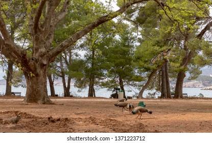 Peacocks under the trees at Lokrum Island, Dubrovnik in Croatia