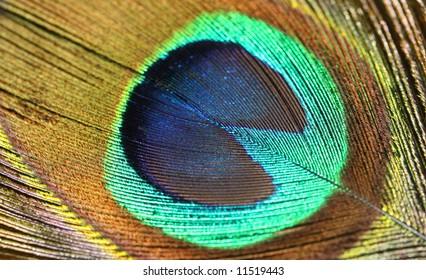 Peafowl Feather