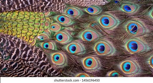 Java Peafowl Images, Stock Photos & Vectors   Shutterstock