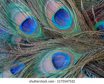 peafowl include three species of birds in the genera Pavo and Afropavo of the Phasianidae family, the pheasants and their allies.