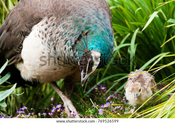 Peahen Looks Food Her Young Chick Stock Photo Edit Now