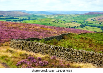 Peak District National Park. England, UK. Beautiful blooming purple heather covering land. Stone wall property field border at foreground.