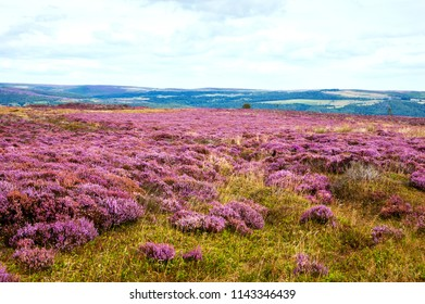 Peak District National Park. England, UK. Beautiful blooming purple heather covering land.