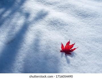 Peak Fall Color Leaf On Top Of Snow