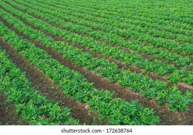 Peanut field.