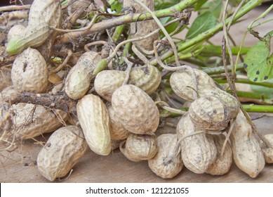 Peanut fruit plants