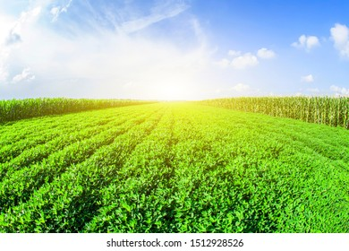 The peanut growing in the field