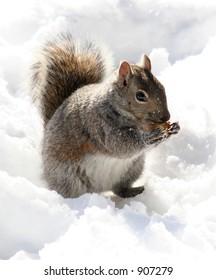 Peanut munching squirrel in the snow