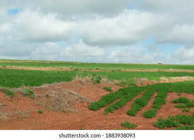 Peanut plantation in the rural area of the State of São Paulo - Brazil. Cloudy day. Agriculture with the application of level curves (curvas de nível) to contain rainwater to prevent soil erosion.