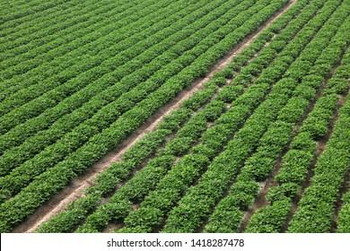Peanut Plants in the Farmland