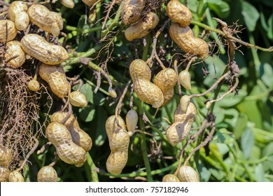 Peanut roots and plants in farming field.