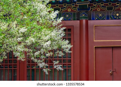 Pear flower blossoming in front of  Asian traditional building locked door,the forbidden city in Beijing China