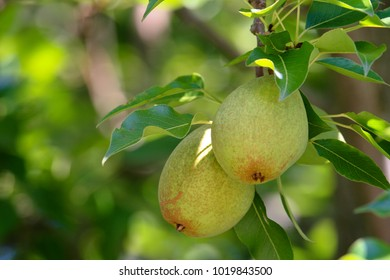 Pear Fruit Hanging from Tree