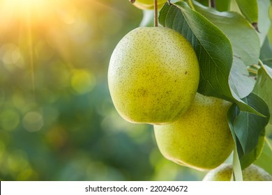 Pear fruit on the tree