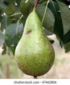Pear in fruit tree.