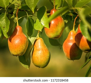 Pear fruits hanging from the branches of a pear tree.