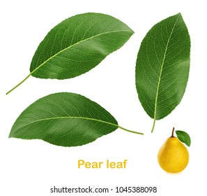 Pear leaf isolated on white background