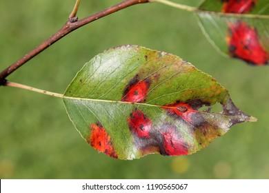 Pear leaf with red spots of Pear rust or Gymnosporangium sabinae
