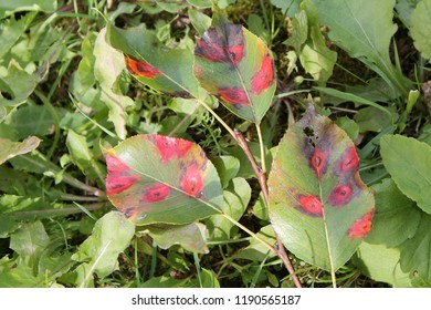 Pear leaves with red spots of Pear rust or Gymnosporangium sabinae