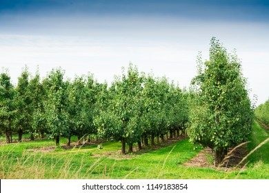 Pear orchard. Fruit growing area De Betuwe, The Netherlands