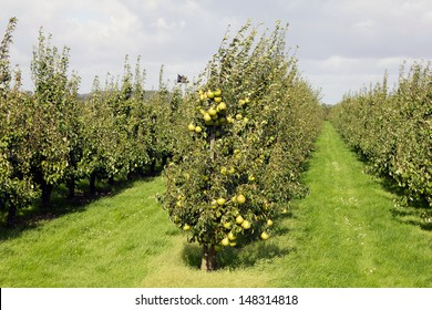 Pear orchard. Fruit growing area De Betuwe, Gelderland, The Netherlands.