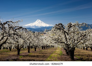 Pear Orchard and Mt. Hood