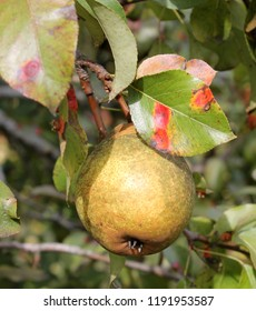 Pear rust or Gymnosporangium sabinae on leaves and ripe pear fruit on branch