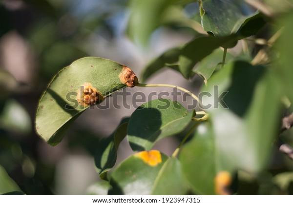 pear-rust-latin-gymnosporangium-sabinae-