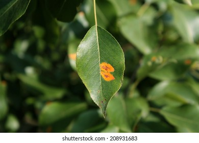 Pear rust on leaf