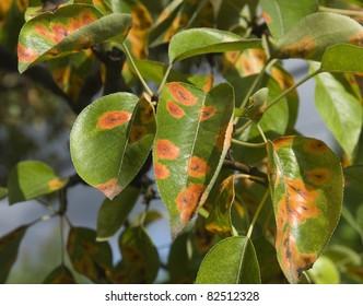 pear rust-gymnosporabgium