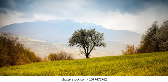 Pear tree bloomed in the middle of a beautiful spring field in the background the snow-capped mountains