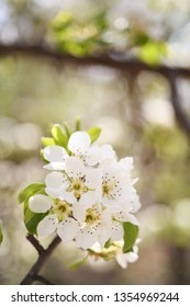 Pear tree blossom close-up. White pear flowers on natural background in Velez-Rubio, Almería.