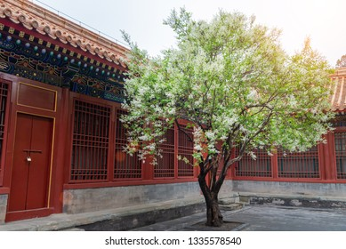 pear tree blossoming in Chinese traditional courtyard with sunbeam in early spring in the Forbidden City,Beijing,China