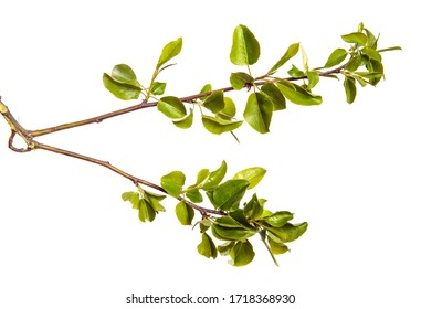 pear tree branch with green leaves on an isolated white background. Fruit tree sprout isolate